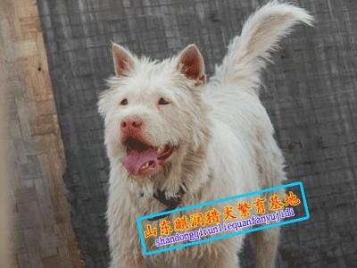 广东梅州下司犬k梅州下司犬价格