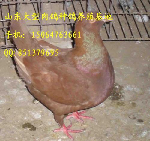 农村发展养鸽子行吗 肉鸽养殖新技术产品展示 农村发展养鸽子行吗 肉图片