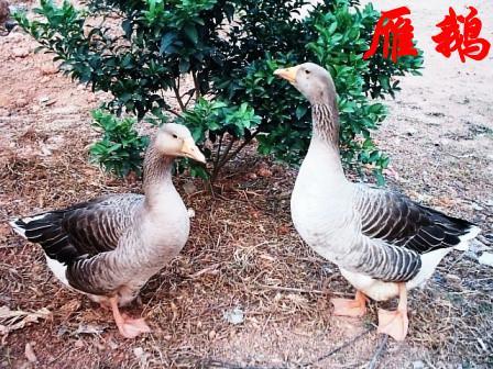 18951525125客户至上信誉第一从鹅的生长发育规律来看,肉鹅的骨骼在2