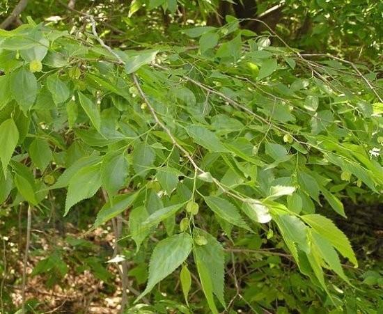 青檀树种子多少钱一斤 请您咨询《江苏绿洲花卉苗木种业》电话:13285281792胡经理(支持货到付款,全国包邮) 青檀树适应性较强,阳性树种喜光,抗干旱、耐盐碱、耐土壤瘠薄,耐旱,耐寒,-35无冻梢。不耐水湿。根系发达,对有害气体有较强的抗性。 要想种植业的成功,选择种子是关键,《江苏省绿之洲花卉苗木种业》是您放心的选择,我们有专业的科研,保存,种植技术,一流的产品,真诚的服务,让您买的放心,物有所值,同样的产品我们比的是质量,同样的质量我们比的是价格!