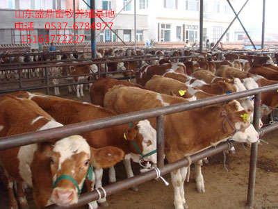 北京养牛:鲁西黄牛利木赞牛'夏洛莱牛'西门塔尔牛、架子牛