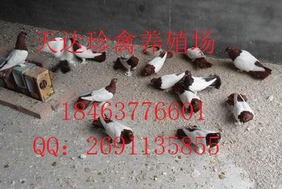 北京/北京观赏鸽基地观赏鸽品种观赏鸽价格