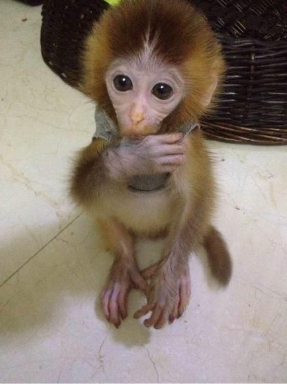 宠物猴子哪里有卖?q77790322多少钱一只