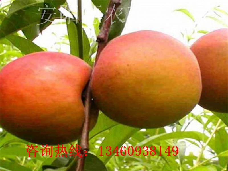 杏树苗品种简介