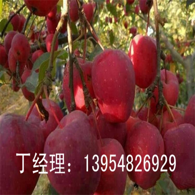 1-5公分苹果苗报价  1-6公分苹果树苗  信浓红苹果苗,萌苹果苗,秦冠