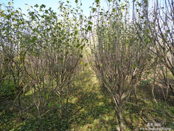 园林绿化苗木批发自产自销红花重瓣木槿树苗