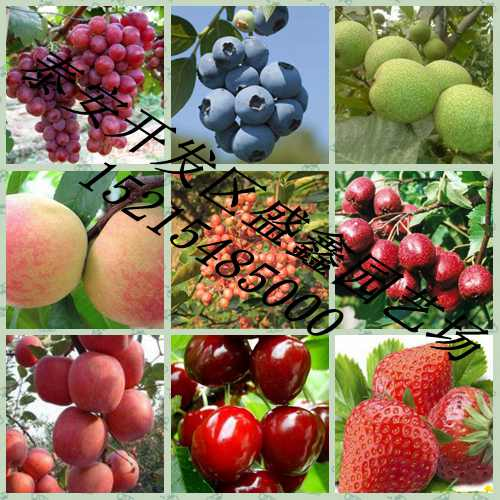 哪里有果树苗、哪里的果树苗便宜、桃树苗批发