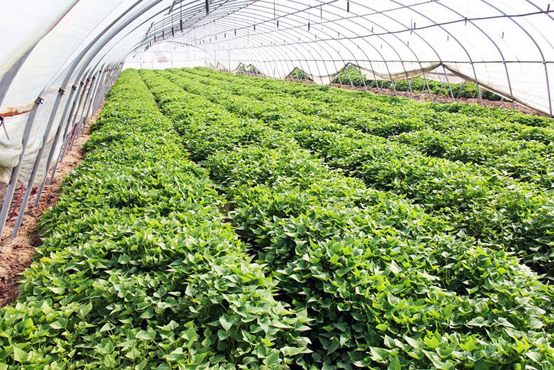 祁门县琅琊区商薯19红薯种子