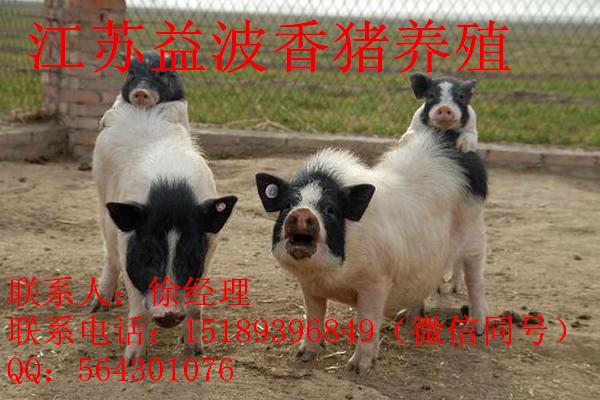 驻马店市巴马香猪猪苗多少钱
