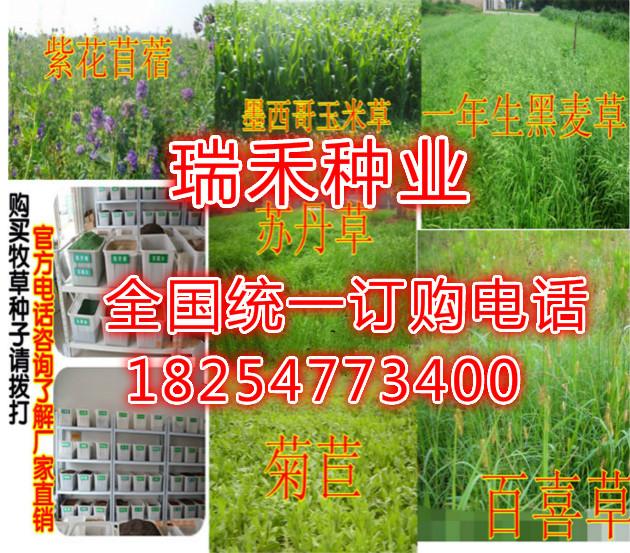 绿化适合冬季草坪种子1