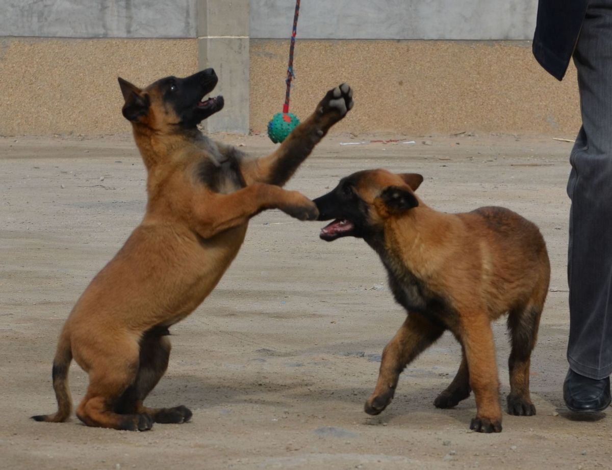 常熟纯种的马犬一般多少钱一条1
