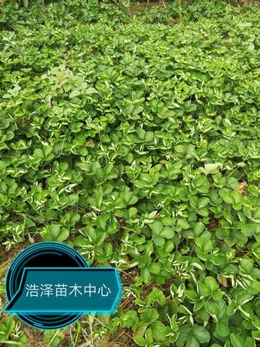 河北省沧州市草莓王子基地一亩地多少株