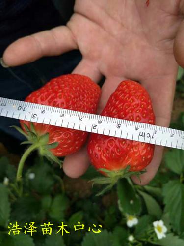 河北省沧州市草莓王子报价一亩地多少株