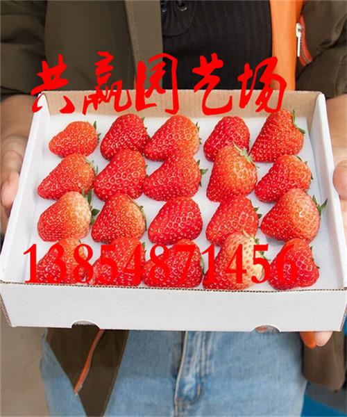 青海哪里有章姬草莓苗产地