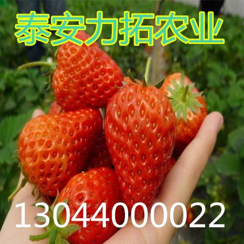 西藏自治区山南地区琼结县美德莱特草莓苗什么时间种