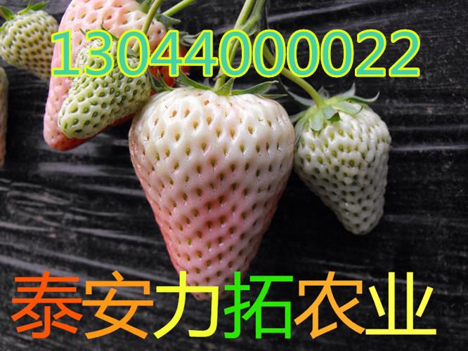 西藏自治区阿里地区日土县全明星草莓苗产量