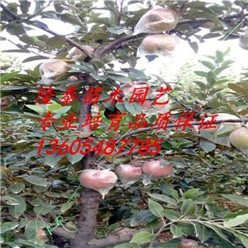 河南美八苹果苗多少钱一棵