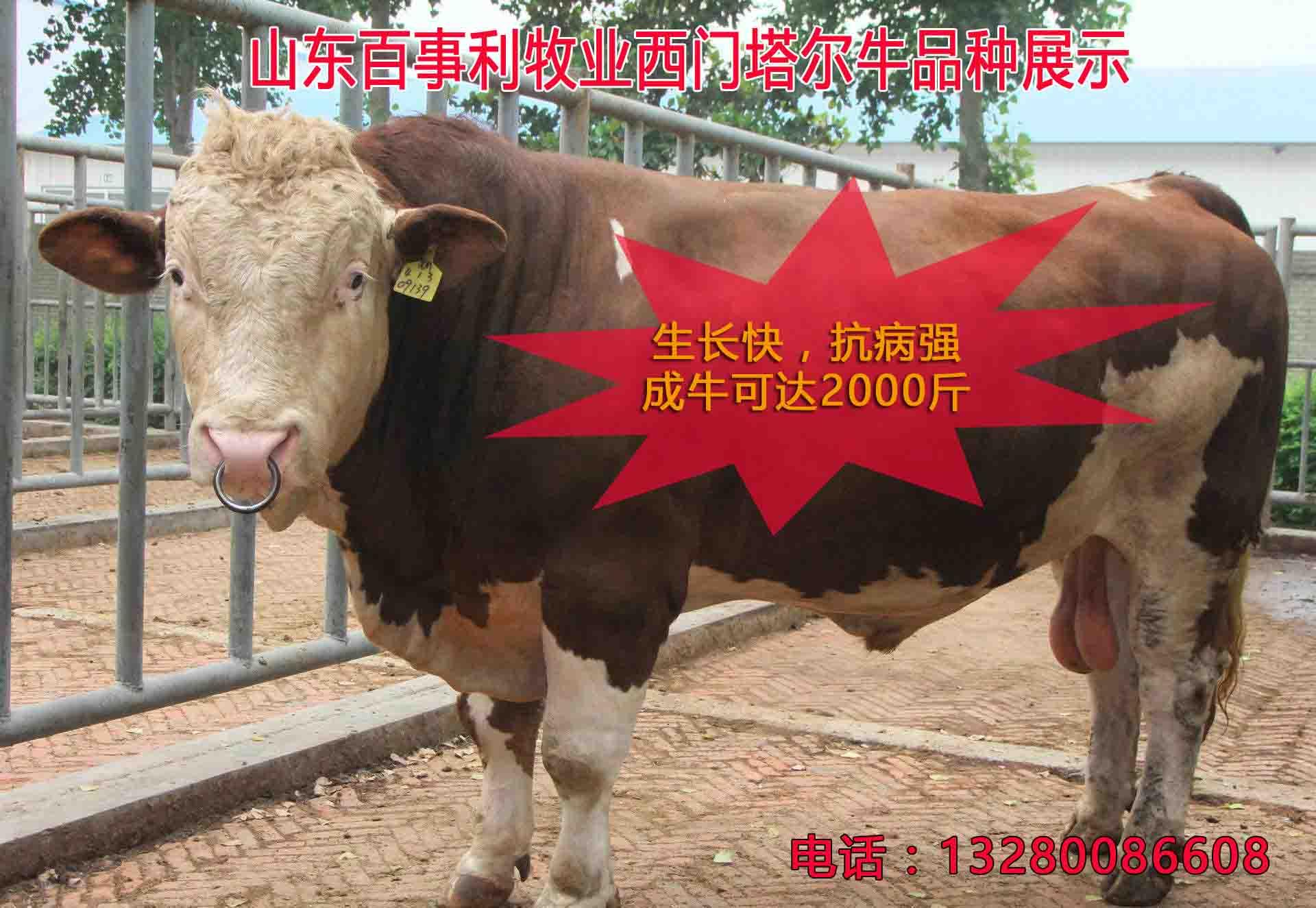福建泉州卖小牛崽