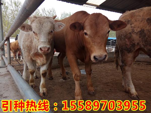 沙县哪里有出售小牛犊的肉牛价格
