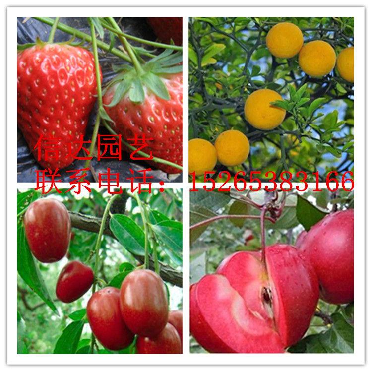 呼和浩特菠萝莓草莓苗基地直销质量优长期大量批发出售