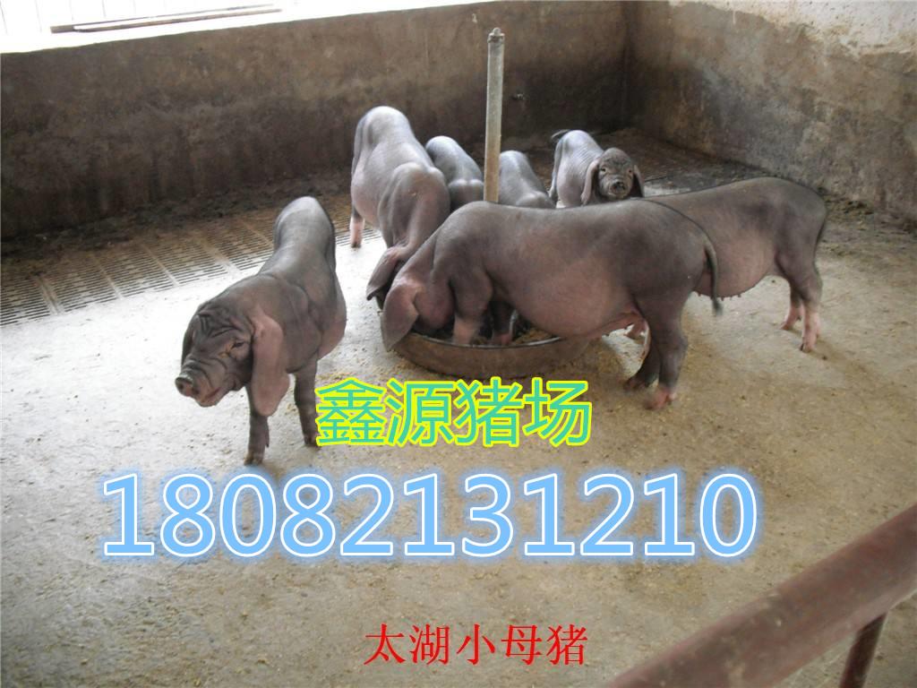 齐齐哈尔北京黑母猪多少钱