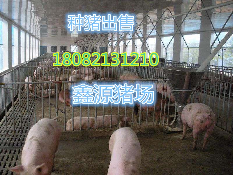 梅州母猪价格
