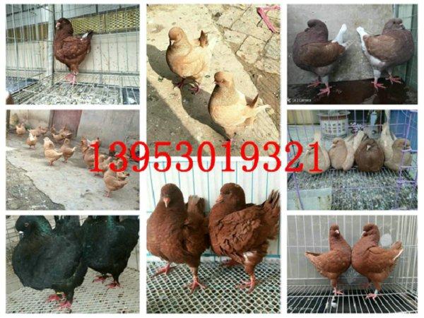 元宝鸽种鸽多少一只,元宝鸽怎么养上膘快,圆环元宝鸽养殖场