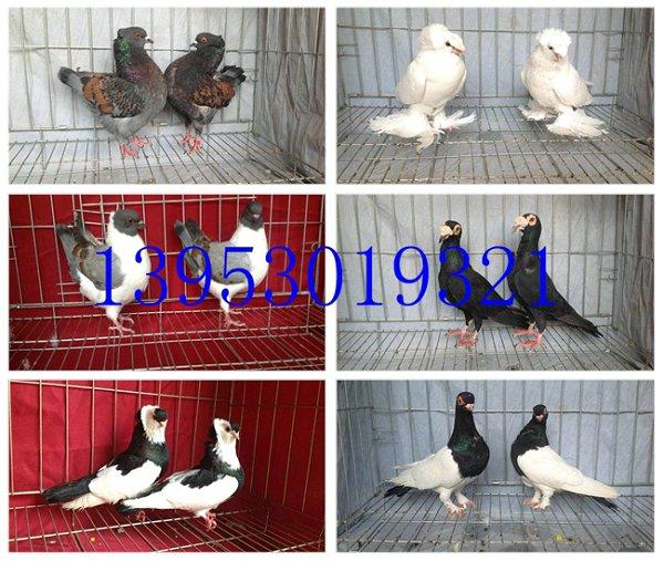 元宝饲养,六斤的元宝鸽多少钱一个,圆环元宝鸽养殖场