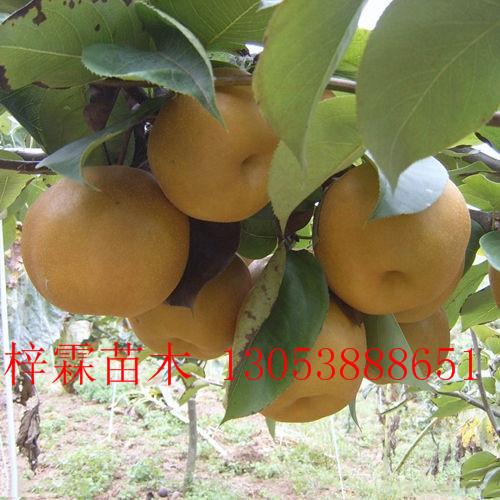 批发秦酥梨树嫁接苗