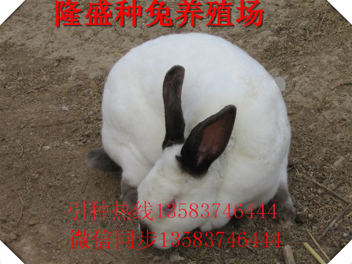 三门峡肉兔商品兔多少钱一只