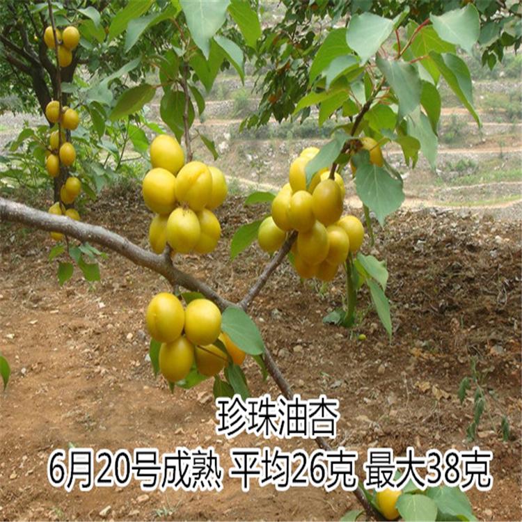 山东杏树苗供应1-3年苗