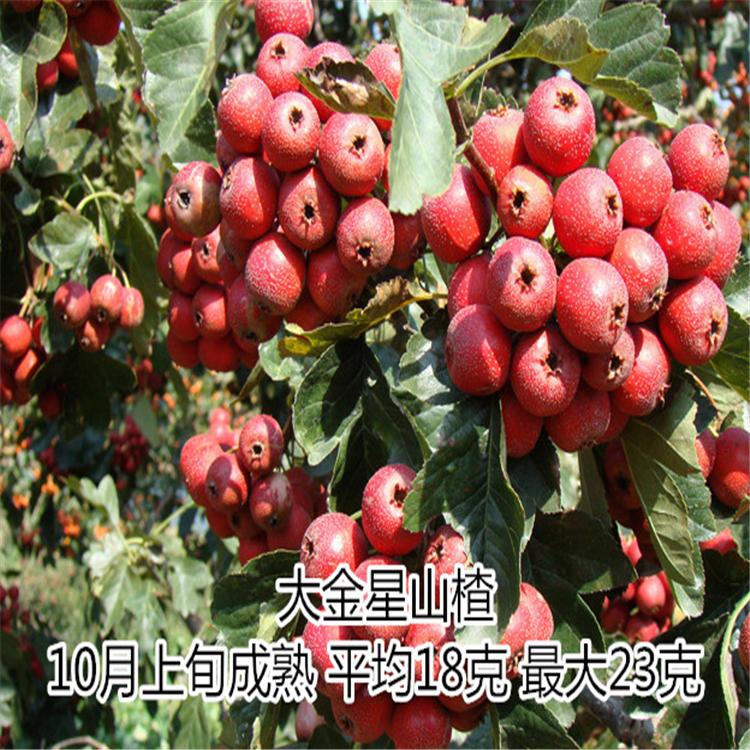 山东山楂苗供应1-5年苗