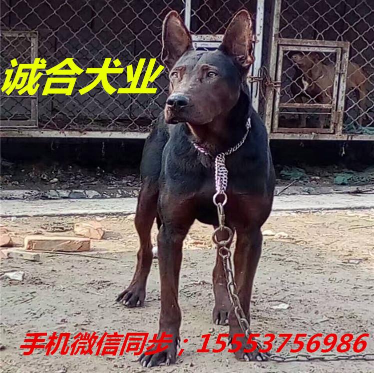 衢州出售莱州红幼犬纯种莱州红犬的优点莱州红犬的智商和寿命