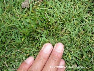 小区种植松叶菊种子适合价格多少