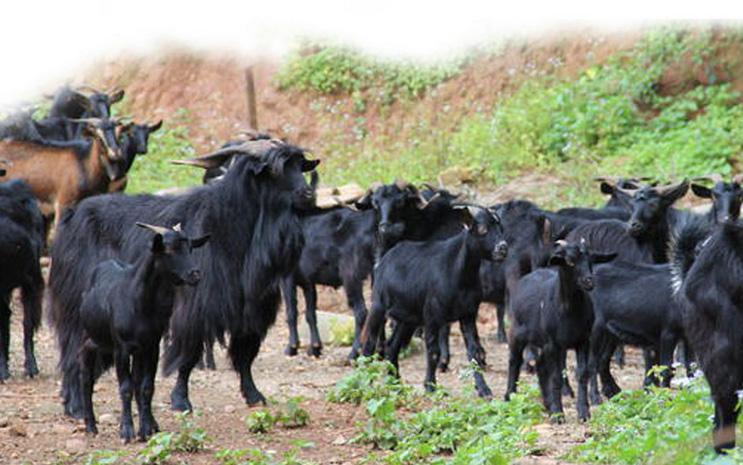 黑山羊苗价格$赣州市黑山羊价格