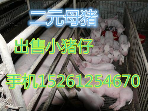 桂林外三元猪批发