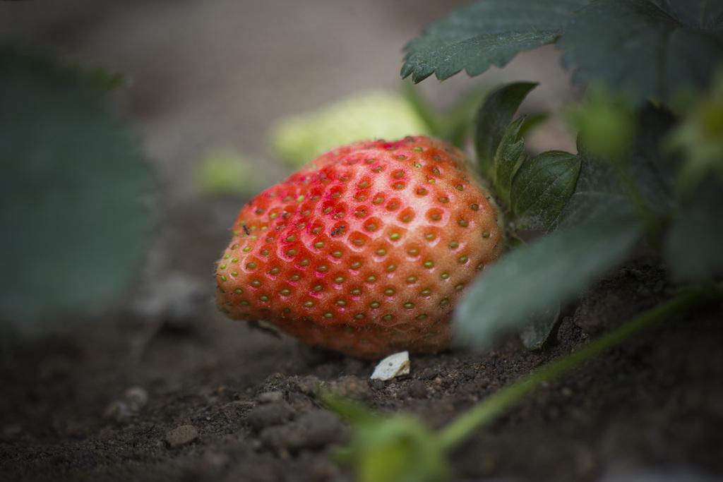 扬州红19草莓苗多少钱一棵