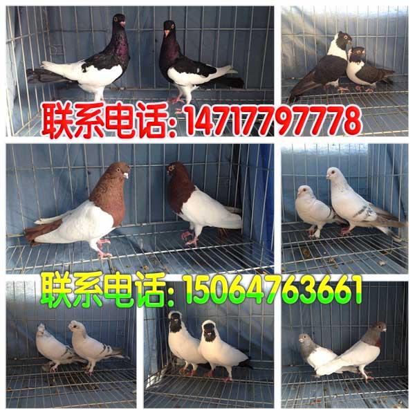 蓝天元宝鸽子论坛 简介