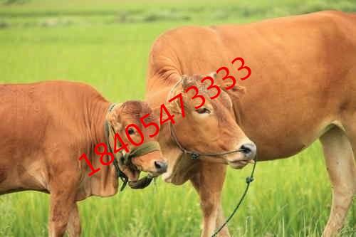 清流县养肉牛什么品种好?【字符2】