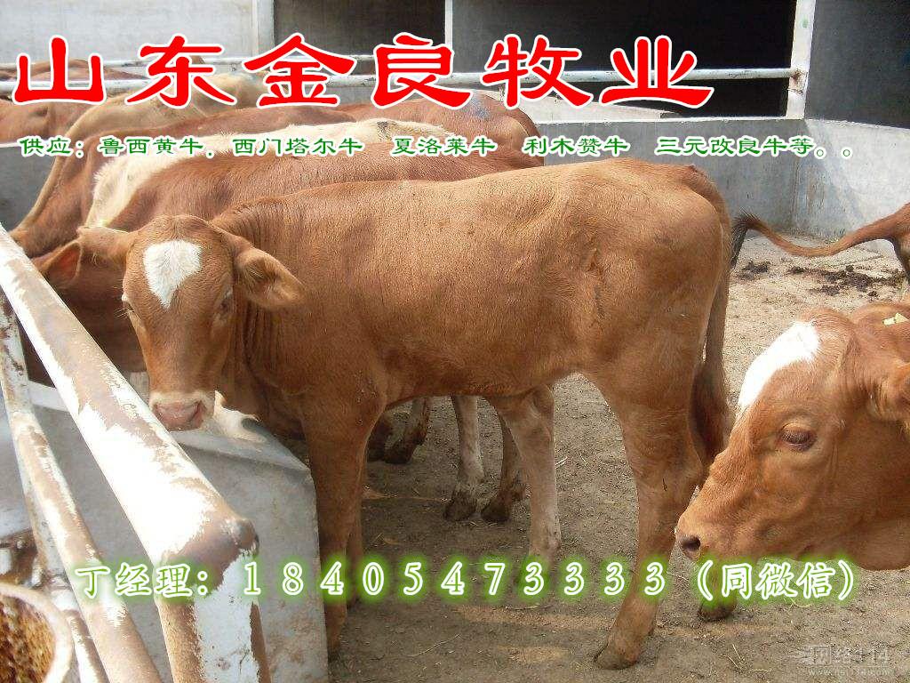 牛犊养殖场肉牛价格 西门塔尔肉牛犊价格 小牛犊价格