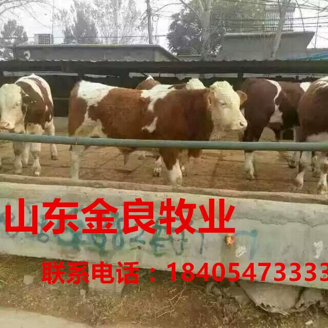 牛犊养殖场肉牛价格 西门塔尔肉牛犊价格 小牛犊价格 举报
