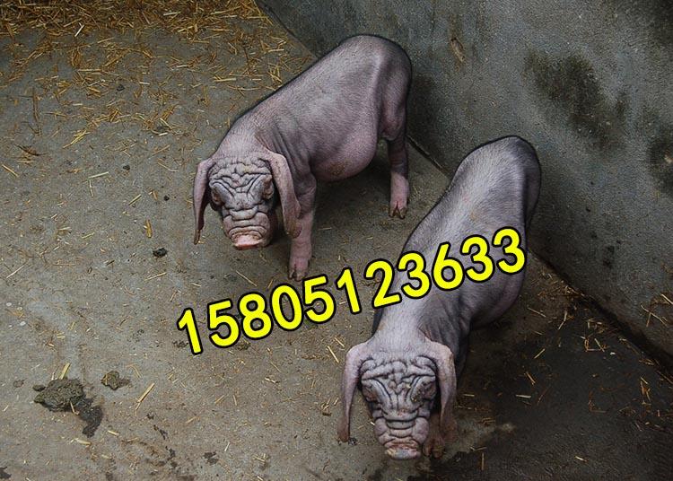 浙江哪里有出售太湖母猪价钱便宜