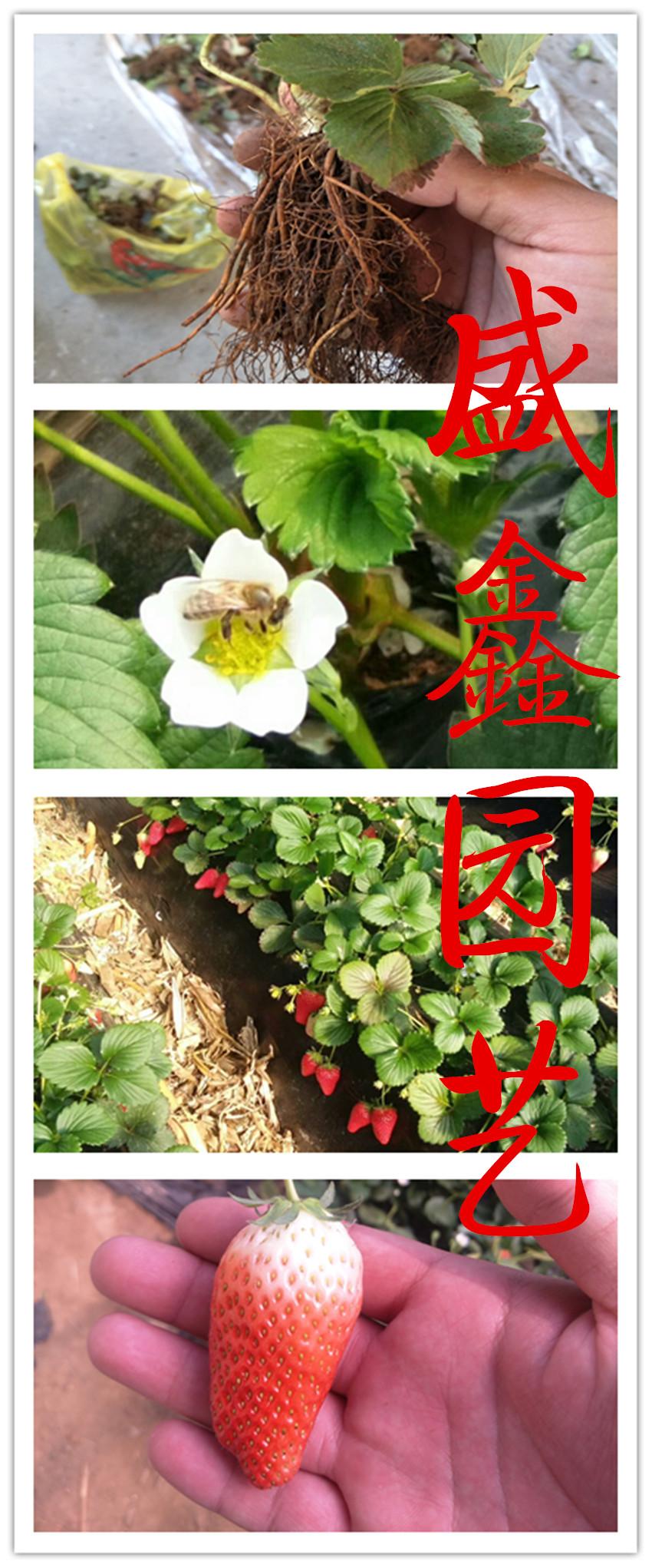 冬香草莓苗病虫害防治
