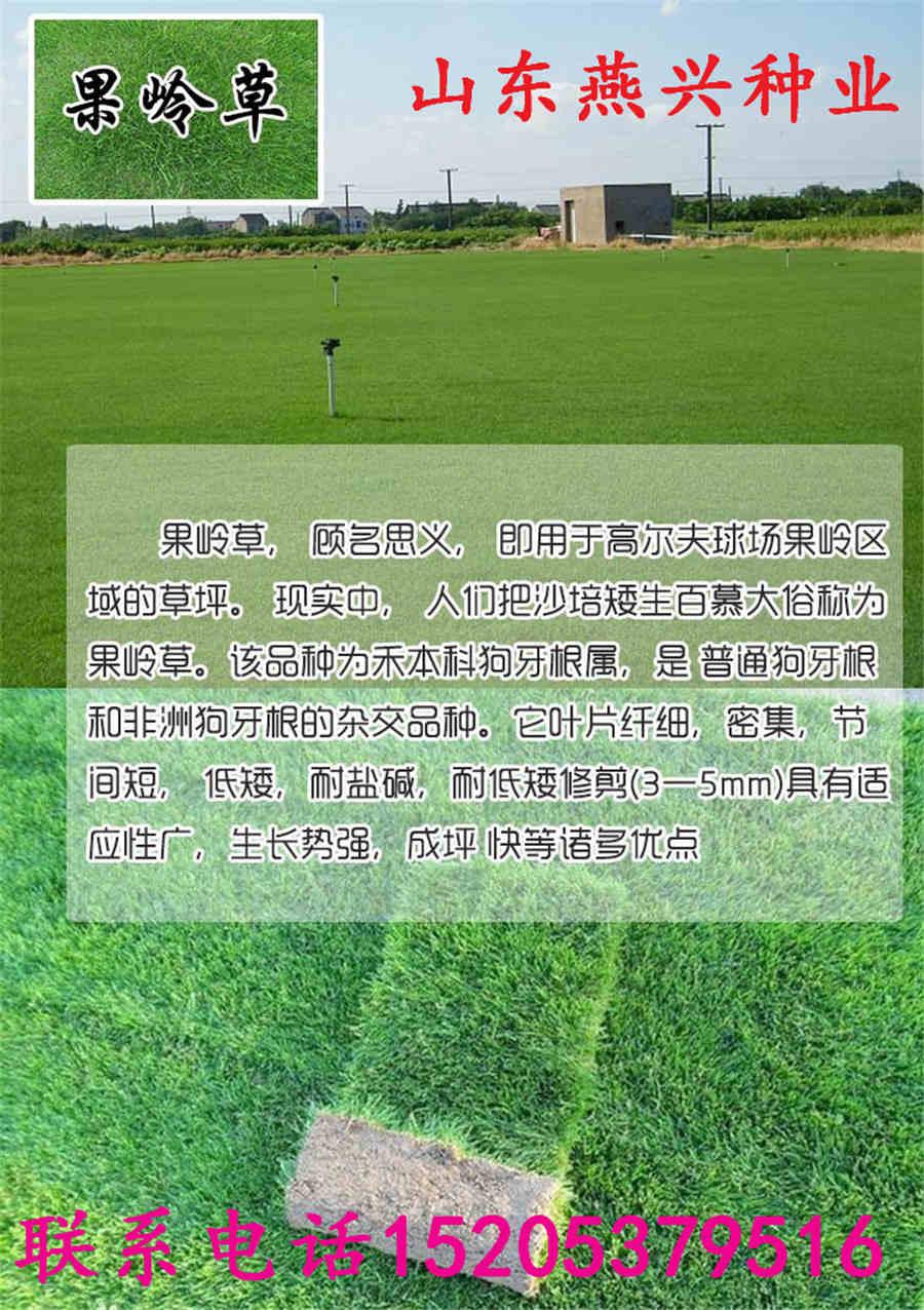 云南省怒江州剪股颖草坪种子图片