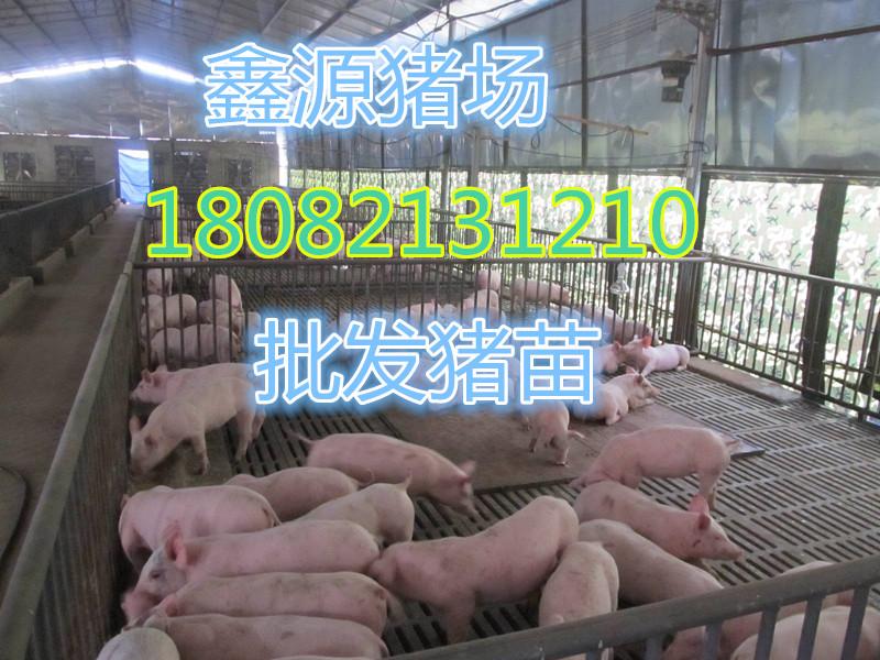 漳州太湖母猪    哪家买