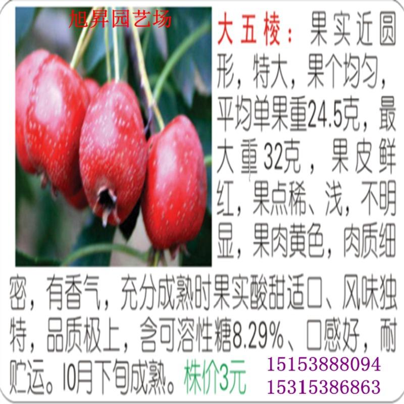 双鸭山黄果山楂苗=新品种