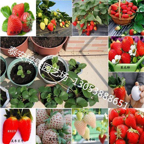 石台县红丰草莓苗√红丰草莓苗一棵多少钱