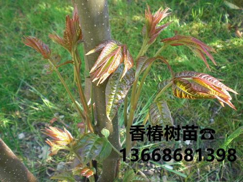 常州红油6号香椿苗出售