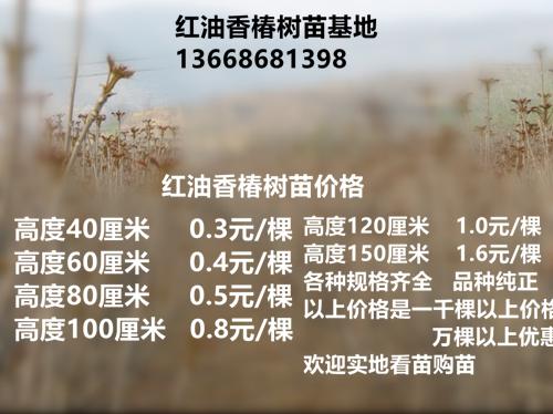 四川红油香椿苗供应