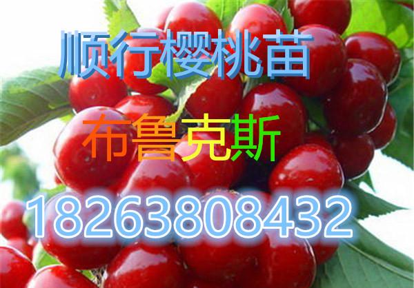 福州樱桃苗-萨米脱樱桃苗品种推荐
